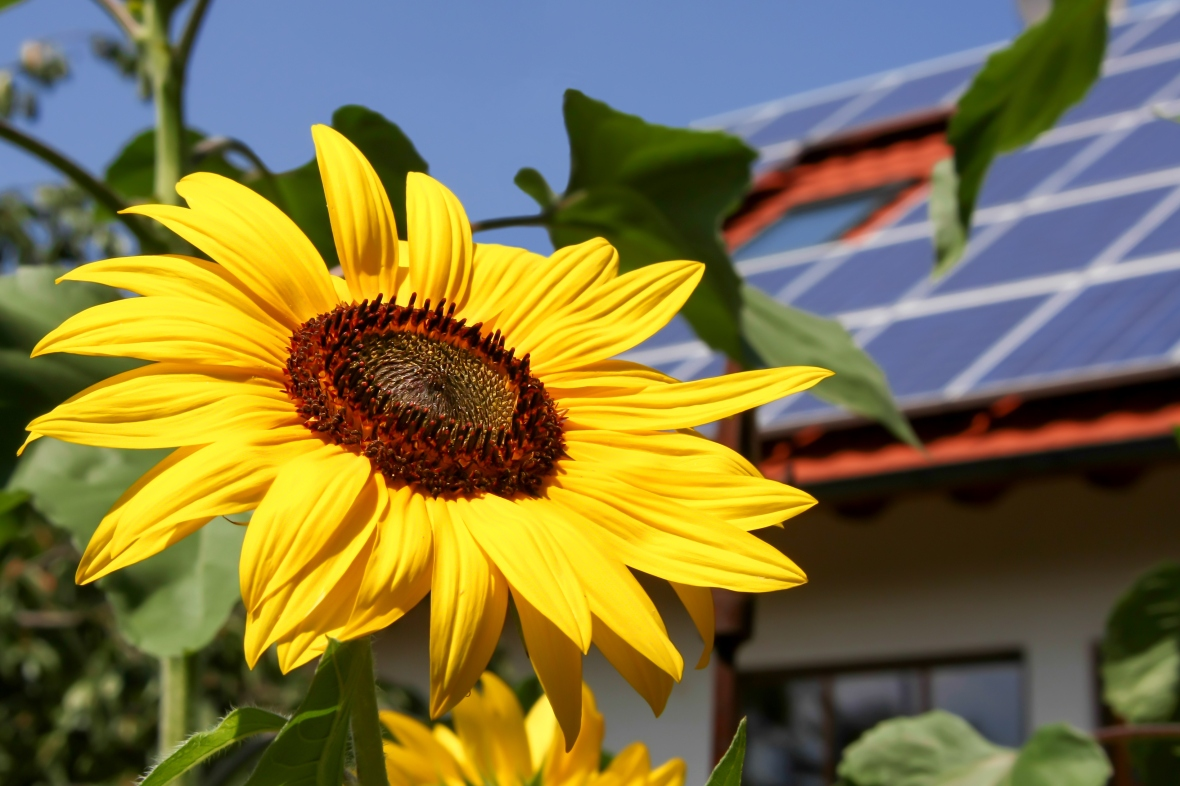 Sunflower with solar background